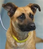 CTY-dogs03pFranny-a-female-Shepard-mix-AID-6402