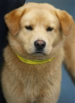 CTY-dogs03pKodiak-a-male-Golden-Retriever-mix-AID-6434