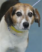 CTY-dogs03pPatton-a-male-Beagle-AID-6141