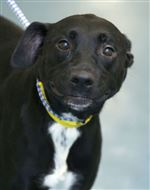 Ellie-a-female-Lab-mix-AID-6364-CTY-dogs03p