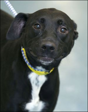 Ellie, a female Lab mix, AID # 6364.