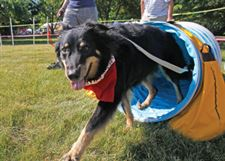 Coda-exits-the-tunnel-during-the-agility-course-at-a-past-MetroBarks-Festival-Coda-is-owned-by-Sandy-Pratt-of-Toledo