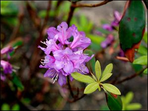 Purple Rhododendron.