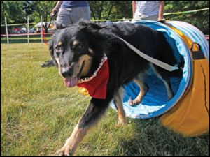 Coda exits the tunnel during the agility course at a past MetroBarks Festival. Coda is owned by Sandy Pratt of Toledo.