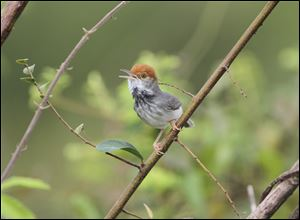 The Cambodian tailorbird - a small, dark warbler with an orange-red tuft on its head discovered, in Phnom Penh, during spot checks for the avian flu.