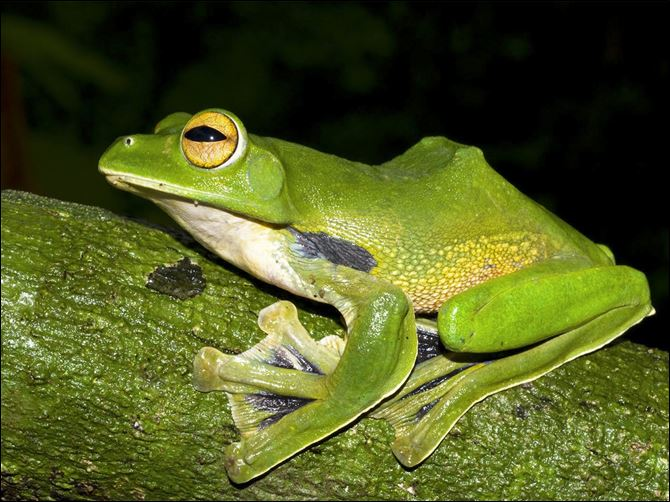 Myanmar New Species The Helen's giant green flying frog, found just 60 miles from Ho Chi Minh City, which glides between treetops using its large, webbed hands and feet.