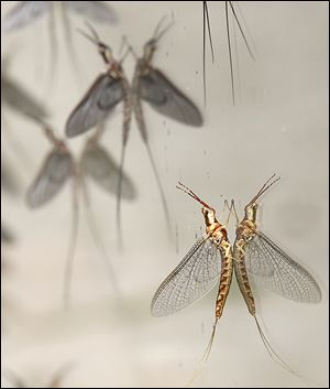 Experts say mayflies may be late this year thanks to the long winter, or there may be far fewer of them.