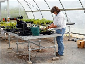 Robin Parker, assistant manager at Olander Park System, transplants native plants to bigger pots.