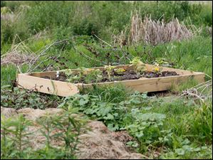 A raised bed of pumpkins outside of the garden proper.