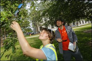 Research assistant Nadya Mi­roch­nitch­enko and Kevin McCluney, assistant professor in biology from Bowling Green State University, survey a tree for insects at Civic Center Mall.