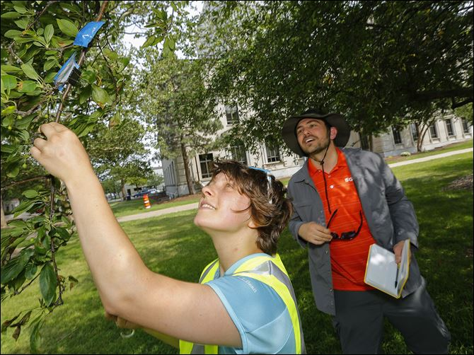 n4bughunters Research assistant Nadya Mi­roch­nitch­enko and Kevin McCluney, assistant professor in biology from Bowling Green State University, survey a tree for insects at Civic Center Mall.
