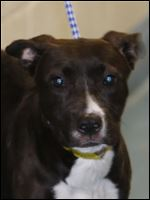 Cassidy, a female Pit Bull mix, pound #6624.