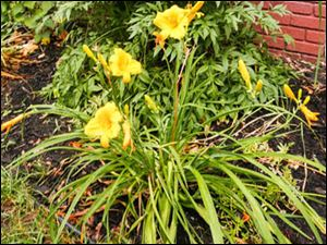 A Stella de Oro daylily, front with a prairie cornflower behind it.