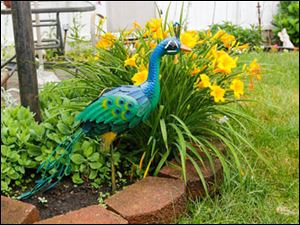 A peacock from her daughter among the day lilies.