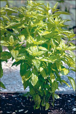 Basil is one of the staple herbs during summer as it goes well with fruit and infuses liquids.