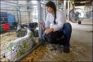 "Aubrey Urbina, 15, from Toledo and the Broncos 4-H  Club, pets her lamb ""Diesel"" while holding onto her turkey named ""Ombre"" after showing in the Junior 4-H turkey show."
