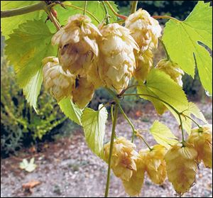 Hops are easy to grow and greatly enhance a beer's flavor when picked fresh.