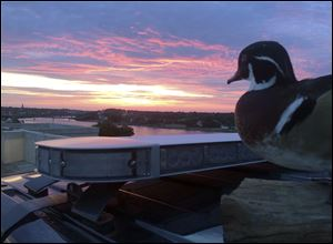 "The Bangor Police Department's stuffed ""duck of justice"" greets the sunrise from atop a police cruiser in Bangor, Maine. The mascot, a wood duck that had been stuffed by a taxidermist and rescued from a trash compactor, has attracted more than 20,000 likes on its departmental Facebook page."