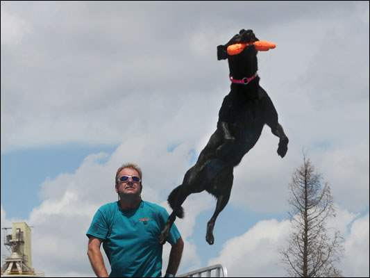 J.D. McKnight of West Milton watches as his female 3-year-old Labrador retriever Storie grabs her toy midair during the Ultimate Air Dogs contest Sunday at The Andersons in Maumee.