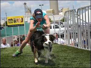 Courtney Flick of Findlay releases 2-year-old male Australian Shepherd Gunner as he races to jump into the pool.