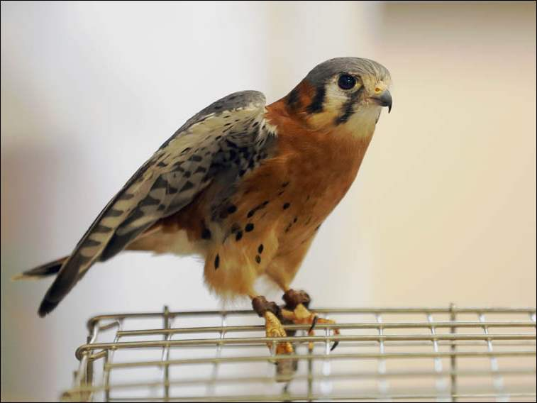 An American Kestrel for viewing during an event given by Back to the Wild, a non profit, wildlife organization, in the Perrysburg Recreation Center.