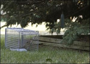 A live trap is set in a Sylvania backyard, where city leaders have banned feeding stray cats. The law is controversial.