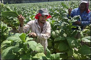 Tobacco workers tend the crops in the fields.
