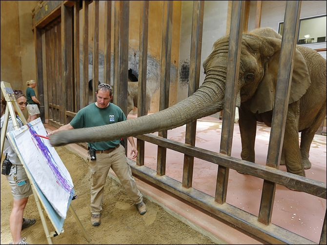 n4elephant-3 Elephant manager Ben Whitebread helps Renee paint as elephant keeper Teresa Pate steadies the easel in front of an audience at the Toledo Zoo. The activity was arranged in conjunction with 96 Elephants, a campaign by the Wildlife Conservation Society to end the sale of elephant ivory.