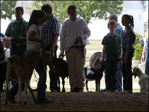 Goats are lined up at the entrance of a barn in preparation to be shown.
