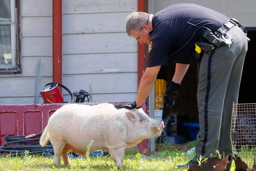 CTY-ANIMALS01-laplante-and-pig
