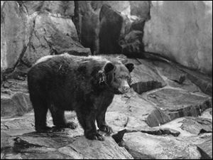 The original Smokey the Bear, symbol of forest fire prevention is shown in his National Zoo home in Washington, D.C. Smokey died in 1976 and was returned where he was  found as a cub with burned paws in 1950 in Capitan N.M.