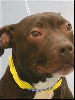 "Pound # 7470, Cage #87 ""Miles"" is a male, brown and white pit bull mix."