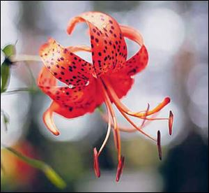 Tiger lily.