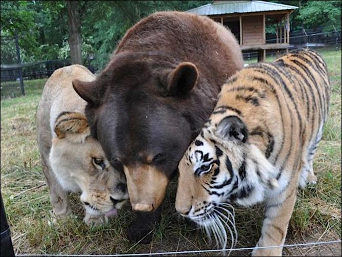 TLB.jpg 8-18 A bear, lion, and tiger have lived at Noah's Ark Animal Sanctuary in Locust Grove, Ga., since their rescue in Atlanta in 2001 during a drug raid. Through their shared suffering from improper confinement, they formed a bond and became known as the BLT.