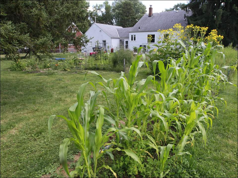 Corn grown in Michael Horst's Marriat Rd. backyard garden in Toledo.