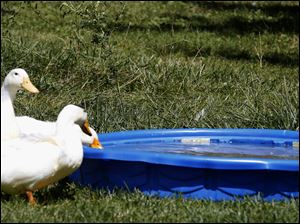 Ducks drink from a baby pool.