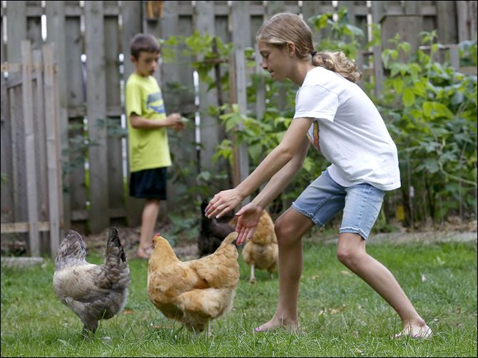 n4chick Emma Pelton chases chickens back of her family's South Toledo home where chickens are allowed.