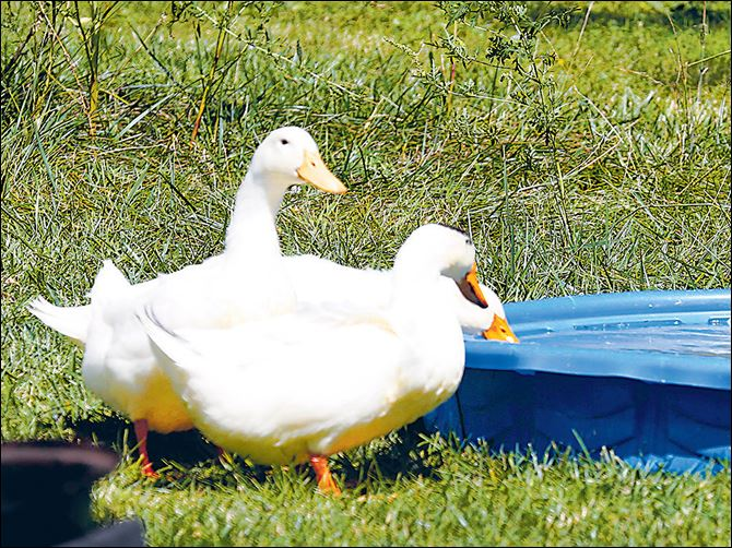 Pekin ducks drink from a baby pool. Pekin ducks drink from a baby pool.
