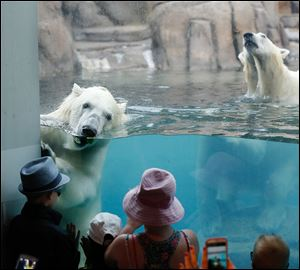Visitors to the Toledo Zoo view young  twin polar bears Sakari and Suka, during feeding time Thursday.