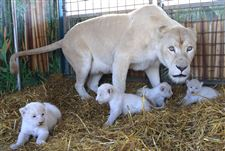 Germany-White-Lions