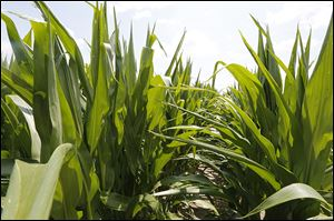 Farmers can look out and see a crop of corn, like this one in Richfield Township, and realize that their profit margin isn't going to be as green as what's in their fields.