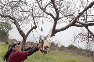 Celestino Carranza cuts down a dead peach tree at MacQueen Orchards in Holland. Jeff MacQueen, the orchard's owner, said the cold winter had killed about half the orchard's peach tree acreage.