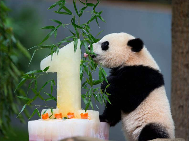 Panda cub Bao Bao licks her birthday cake at the National Zoo in Washington. Bao Bao's first birthday was celebrated at the zoo with a traditional 'Zhuazhou' ceremony, a Chinese birthday tradition symbolizing long life.