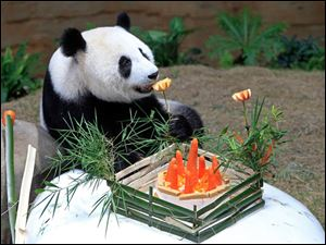 Liang Liang, formerly known as Feng Yi, a female giant panda from China, sniffs apples and carrot in her birthday celebration.