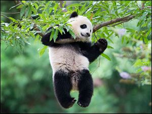 Panda cub Bao Bao hangs from a tree in her habitat at the National Zoo in Washington on her first birthday.