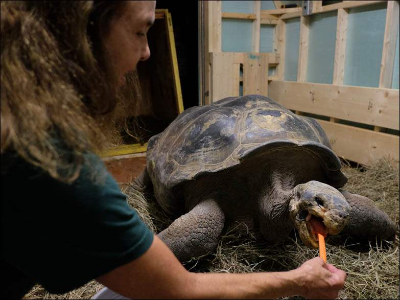 Val Hornyak of the Toledo Zoo feeds Emerson, a Galápagos tortoise, a carrot as he is delivered and unboxed Wednesday, 08/27/14, at the Toledo Zoo in Toledo, Ohio. Emerson is a wild-born tortoise estimated at 100 years old. He is being donated by the San Diego Zoo.