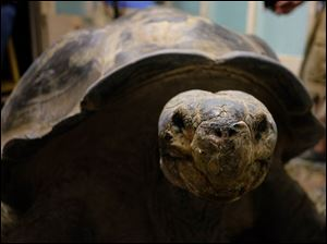 Emerson, a Galápagos tortoise, is delivered and unboxed.