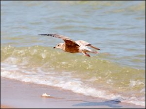 A gull flies near the shoreline of Lake Erie on the public beach with no visible signs of algae.