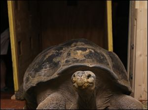 Emerson, a Gal‡pagos tortoise, is delivered and unboxed at the Toledo Zoo.