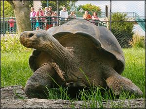 Emerson, a Galapagos tortoise, explores his temporary quarters at The Toledo Zoo.